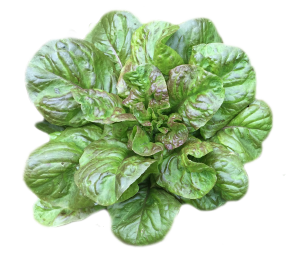 salade Batavia rouge de la vallée de l'Arnon