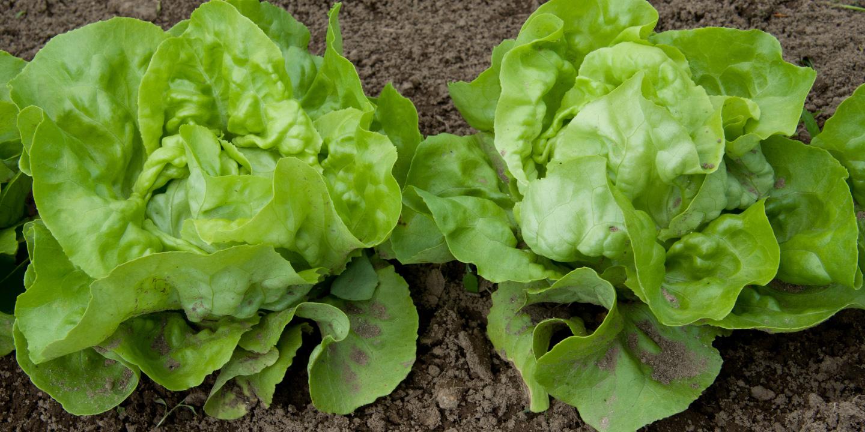 salade reine de Mai